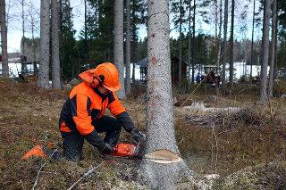 Sekač podira drevo