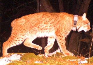 Ris Goru, fotografija LIFE Lynx
